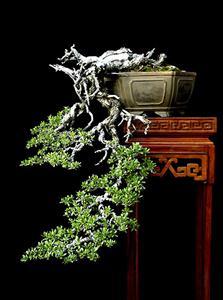 bsthacdo Trồng cây Sanh làm bonsai