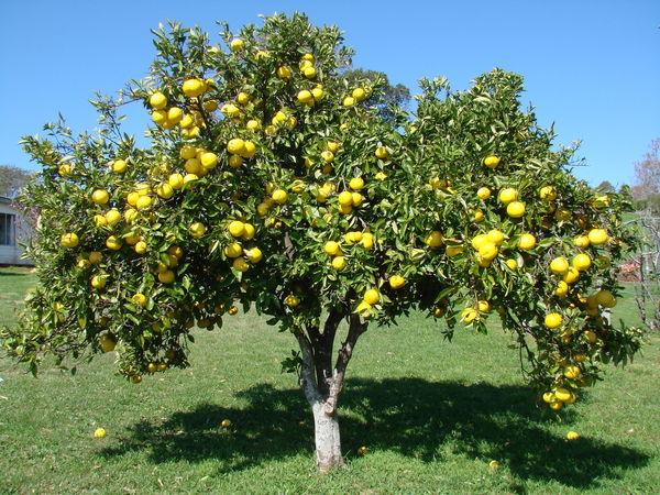 buoi Cách chăm sóc cây bưởi cho trái theo ý muốn