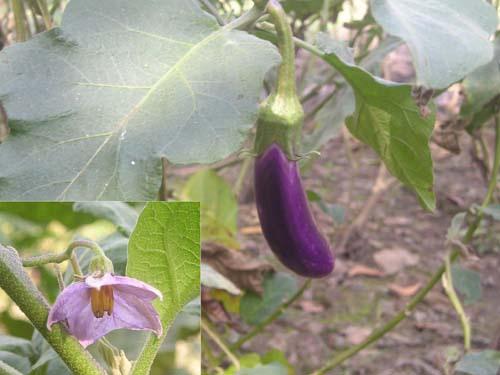 ca-tim-1 Cách trồng bí đỏ an toàn