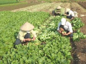 cai-thia-1-300x225 Cách trồng cải thìa an toàn