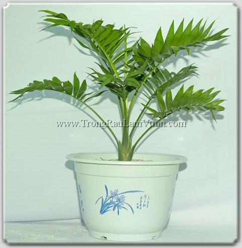cau-tieu-cham Lợi ích của phân bón lá đối với cây trồng