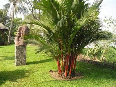 Cụm cau kiểng đỏ làm nổi bật một góc vườn
