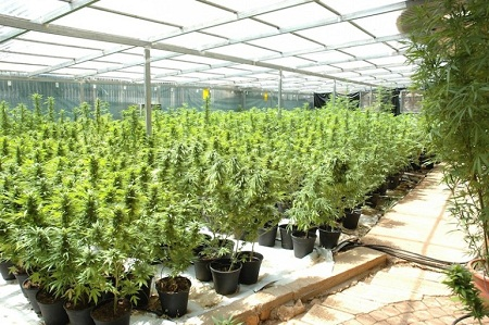cay-can-sa3 Phát triển giống cây cần sa mới ít gây nghiện