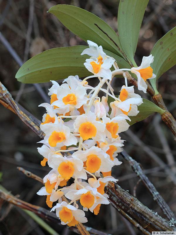 dendrobium_thyrsiflorum Dây Đăng tiêu-dây leo cho hoa đẹp, vị thuốc hay