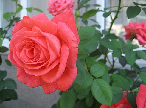 honglua Hướng dẫn cách trồng hoa hồng trong chậu
