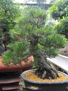 thongbonsai Trồng cây Sanh làm bonsai