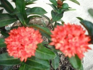 Giống trang hoa kép mới