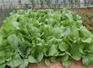 trongcaingot-300x220 Cách trồng cải ngọt an toàn
