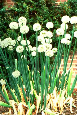 Allium_cepa Hành tây,cách trồng và chăm sóc