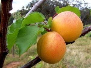 Quả của Bạch mai ( quả mơ) lúc chín -Apricots fruit