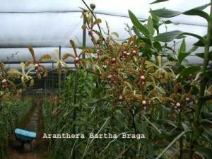 Lan bò cạp thường được trồng thành luống hơn là trồng chậu