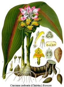 Curcuma-zedoaria-Roxb. Cây nghệ đen dùng làm thuốc