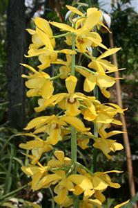 Eulophia-flava Cây huỳnh anh, cây leo hoa vàng, lá bóng mượt