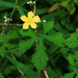 Hoa khổ qua rừng màu vàng nhỏ xinh nổi bật trên dàn lá xẻ thùy sâu ( lá gần gống hoa nhưng màu xanh)