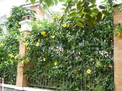 P10406911 Cây huỳnh anh, cây leo hoa vàng, lá bóng mượt