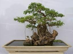 bosai-si Trồng cây Sanh làm bonsai