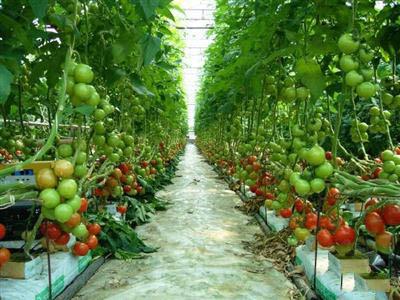 cay-ca-chua Nguyên tắc cơ bản trong kỹ thuật trồng rau an toàn