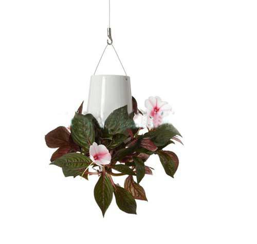 Một chậu hoa treo ngược với cây giống là một loài hoa thân mềm