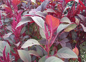 Rau dền tía - Amanranthus tricolor L