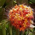 flowers-saraca-indica-120x120 Cây Ti gôn loài cây leo có màu hoa đẹp