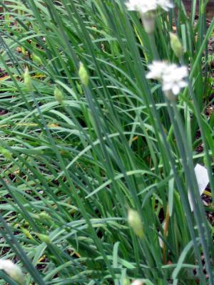 Cây hẹ có tên khoa học là Allium odorum - họ Hành tỏi (Alliaceae)