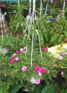 hoa-canh-hoa-moi-gio-treo Ngắm hoa mười giờ nở