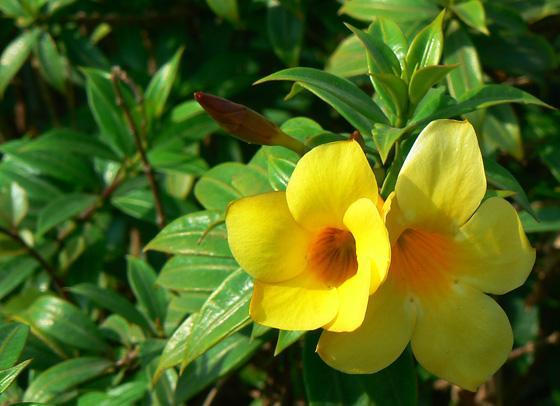 cây Huỳnh anh lá hẹp -Allamanda neriifolia Hook. f.