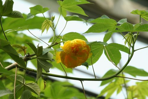 huynhhoa-dang-3 Cây huỳnh anh, cây leo hoa vàng, lá bóng mượt