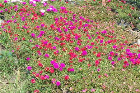 muoigio-3 Ngắm hoa mười giờ nở