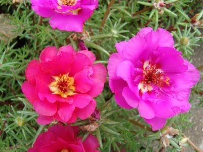 muoigio-5 Ngắm hoa mười giờ nở