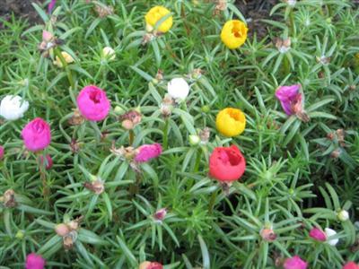 muoigio-6 Ngắm hoa mười giờ nở