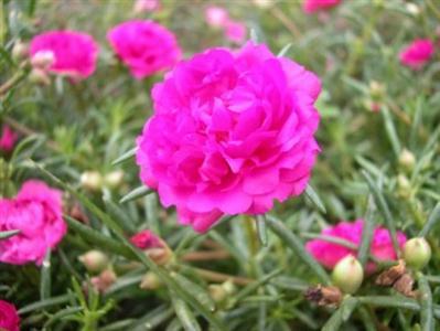 muoigio-7 Ngắm hoa mười giờ nở