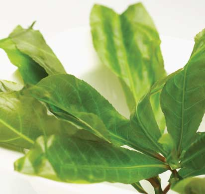 raughem-12 3 cách để kích thích cây Lộc Vừng ra hoa