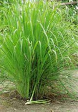 sa Cây sả- Cách trồng và chăm sóc