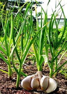 toi-1 cách trồng cây tỏi an toàn