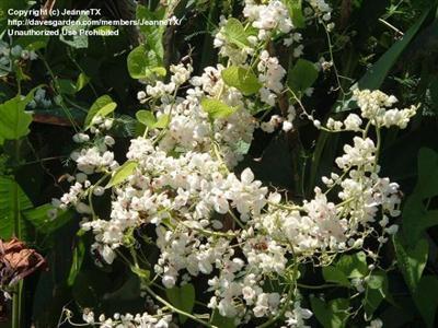 Antigonon-leptopus Cây Ti gôn loài cây leo có màu hoa đẹp