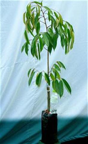Cây sầu riêng giống được tạo từ cách ghép cành