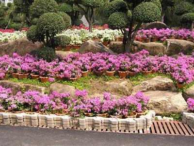 P7020197 Cây ngũ sắc – màu hoa rực rỡ