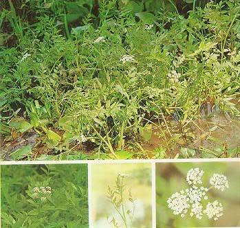 Cây cần ta có tên khoa học là ocnanthe stolonifera