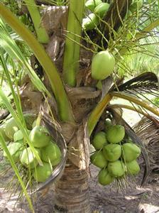 cay-dua Kỹ thuật trồng cây Dứa