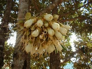 hoa-sau-rieng1 Các cách nhân giống cây Sầu riêng