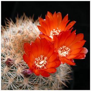 Hoa cây xương rồng