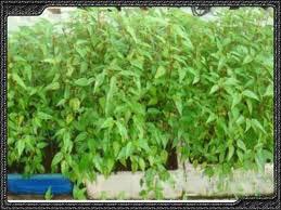 Cây rau đay là một trong những loại rau ăn lá được cho là an toàn