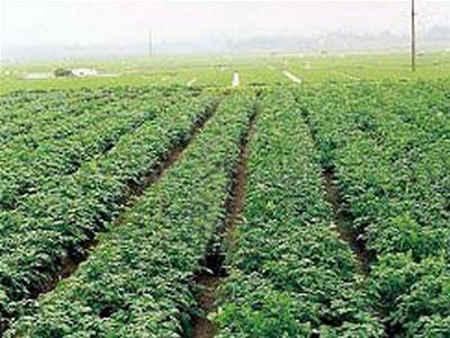 ruongkhoaitay Cách trồng khoai tây an toàn