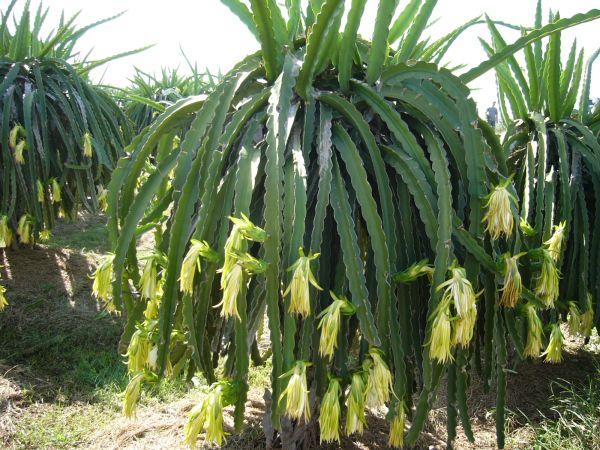 Thanh long cần được tưới nước vào mùa nắng