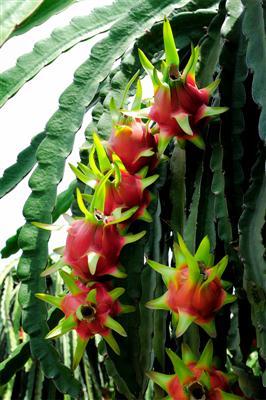 thanhlong1 Cách bón phân hiệu quả cho cây ăn trái