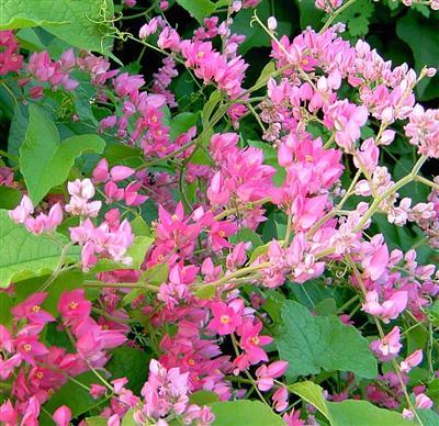 tigon-14 Cây Ti gôn loài cây leo có màu hoa đẹp
