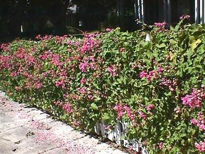 cây Ti gôn phủ kín tạo thành một bức rào hoa đẹp mắt