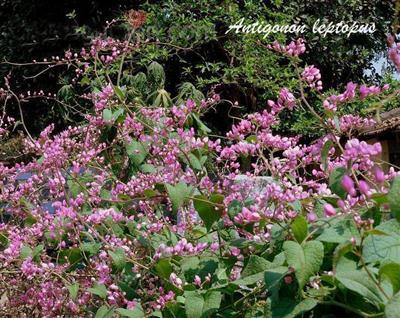 tigon-7 Cây Ti gôn loài cây leo có màu hoa đẹp