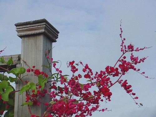 tigon Cây Ti gôn loài cây leo có màu hoa đẹp